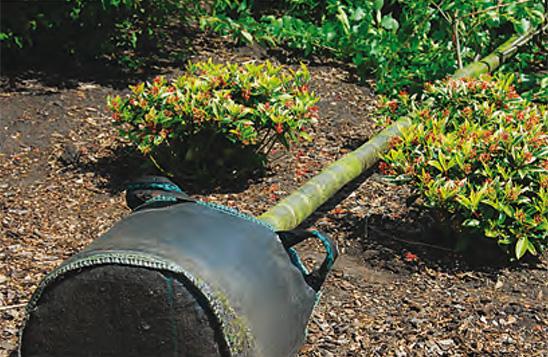Volwassen boom planten