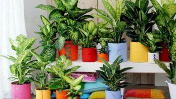 Luchtzuiverende kamerplant Dieffenbachia