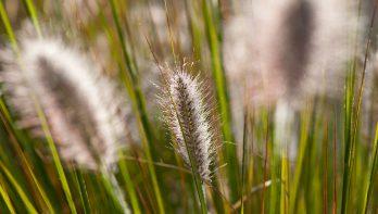 Sierlijke grassen