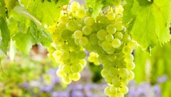 Het snoeien van druiven