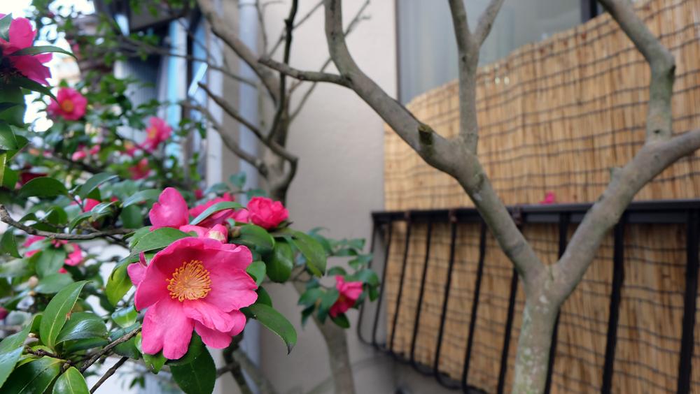Camelia, plant, balkon, noorden