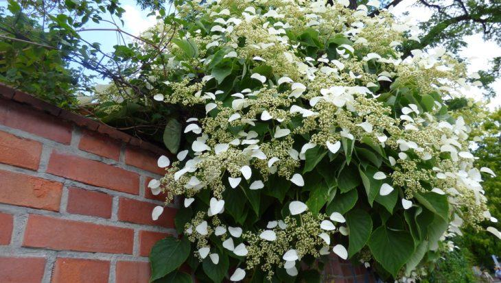 Verschillende soorten hortensia