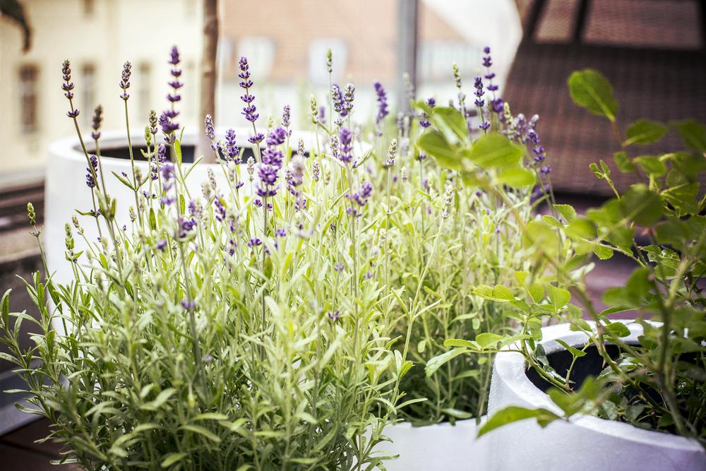 Lavendel, balkon, zuiden