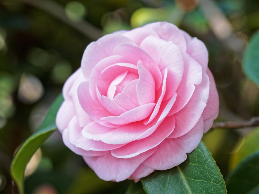 Camellia japonica, camelia, heester, bloei, vroege bloeier, tuinen.nl