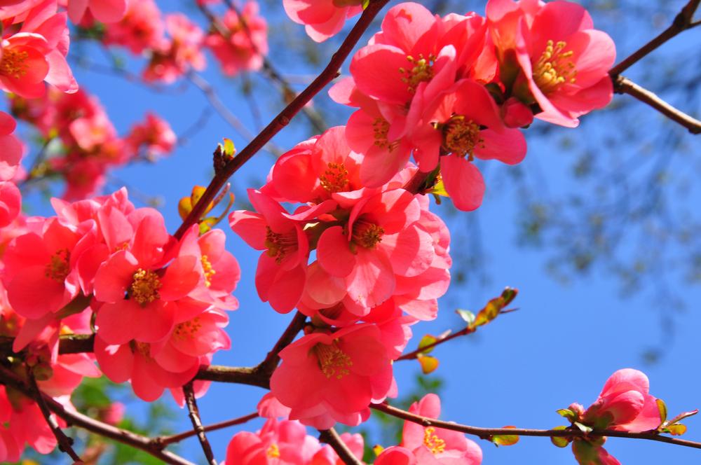 Chaenomeles speciosa, Japanse sierkwee, lijstje, bloei, heester, vroege bloeier, tuinen.nl