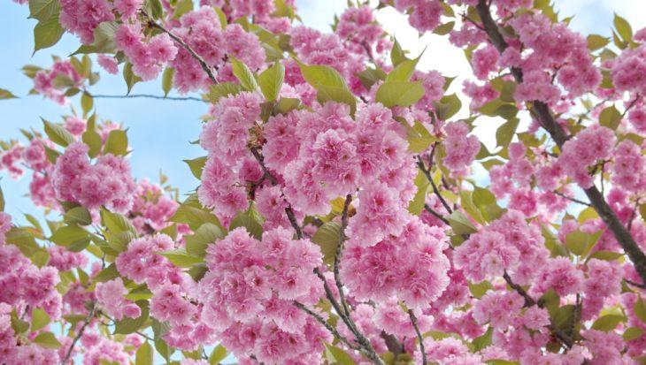 Struiken Met Bloemen Voor In De Tuin.10x Vroegbloeiende Heesters Tuinen Nl