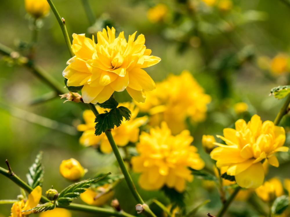 Kerria japonica 'Pleniflora', ranonkelstruik, bloei, heester, vroege bloeier, lijstje, tuinen.nl