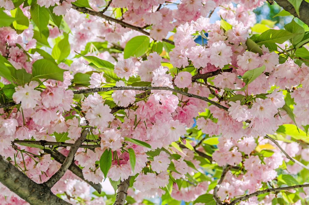 Prunus serrulata, Japanse sierkers, heester, bloei, vroege bloeier, lijstje, tuinen.nl