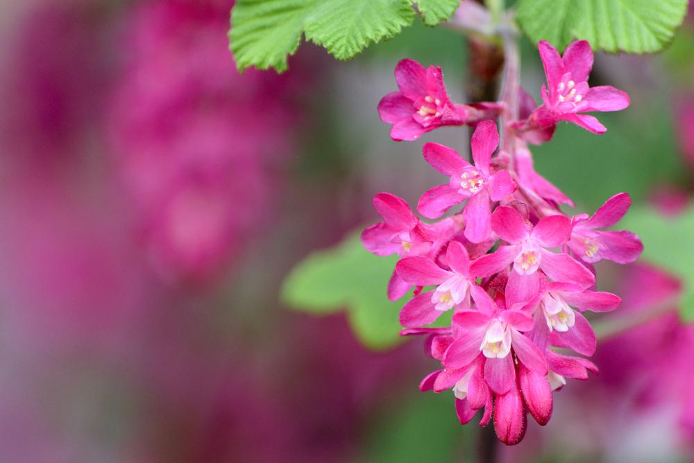 Ribes sanguineum 'King Edward VII', rode ribes, heester, bloei, vroege bloeier, tuinen.nl