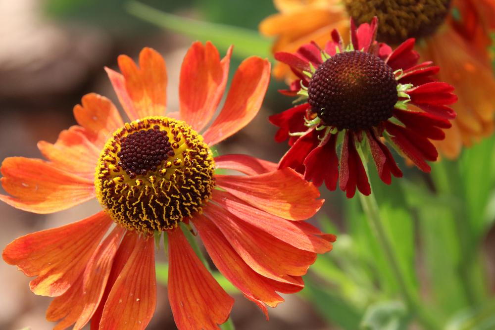 Helenium, zonnekruid, oranje bloeiers, oranje, lijstje, tuinen.nl