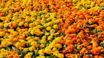 6x oranje bloeiers
