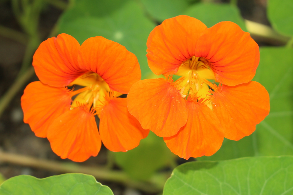 Tropaeolum minus, oost-indische kers, oranje bloeiers, oranje, lijstje, tuinen.nl