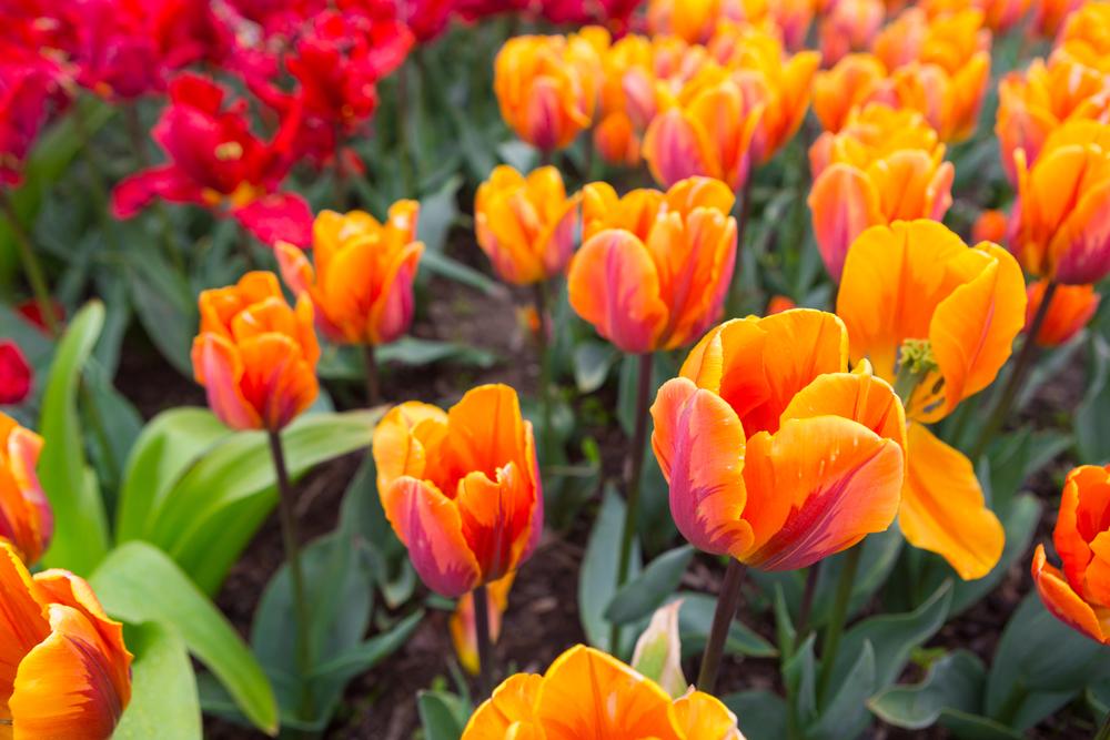 Tulp prinses Irene, tulp, oranje, oranje bloeiers, lijstje, tuinen.nl