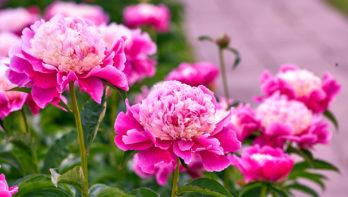 Pioenrozen: flamboyante geneeskrachtige bloem