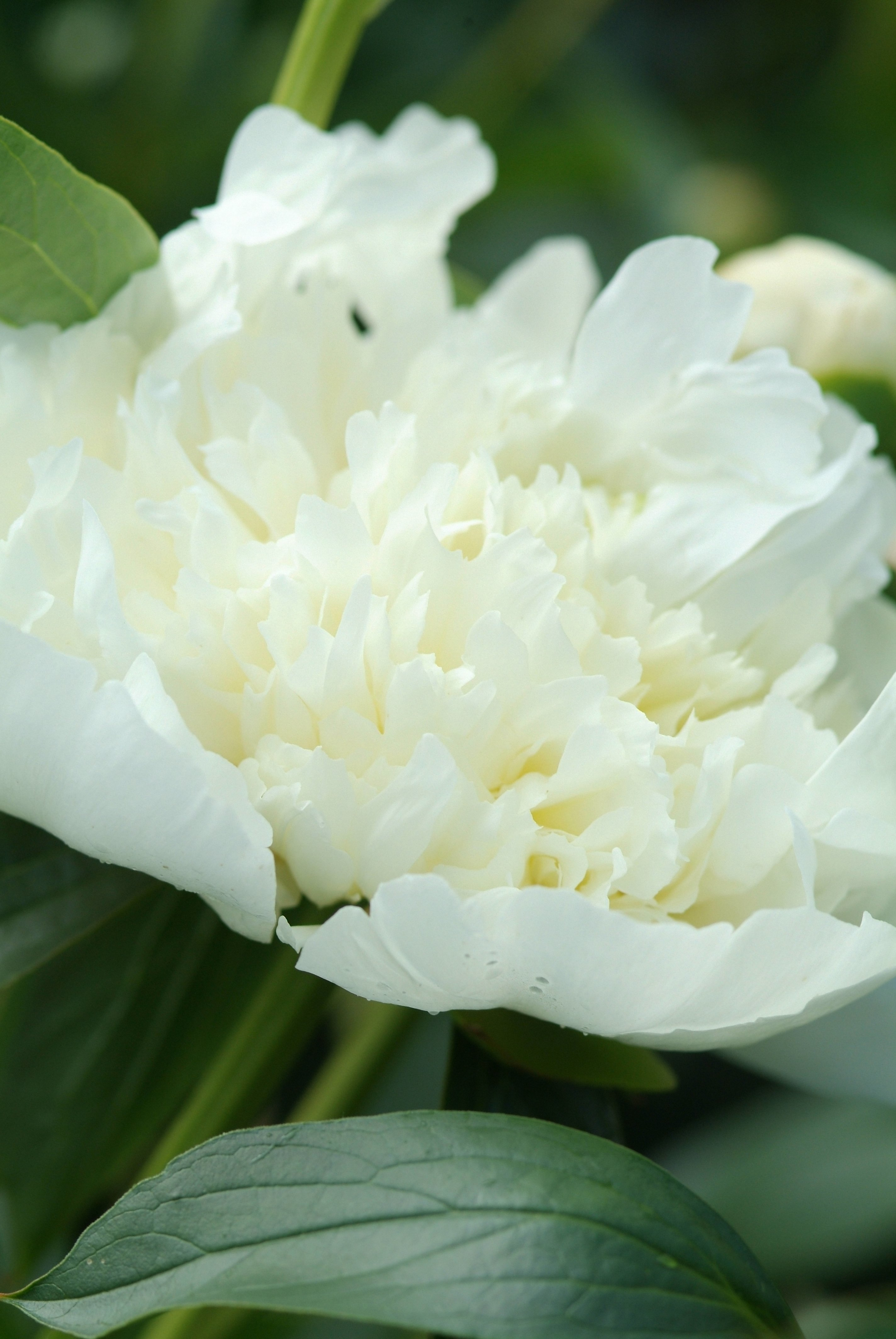 Paeonia 'Duchesse de Nemours', mooie pioenen, pioenrozen, tuinen.nl