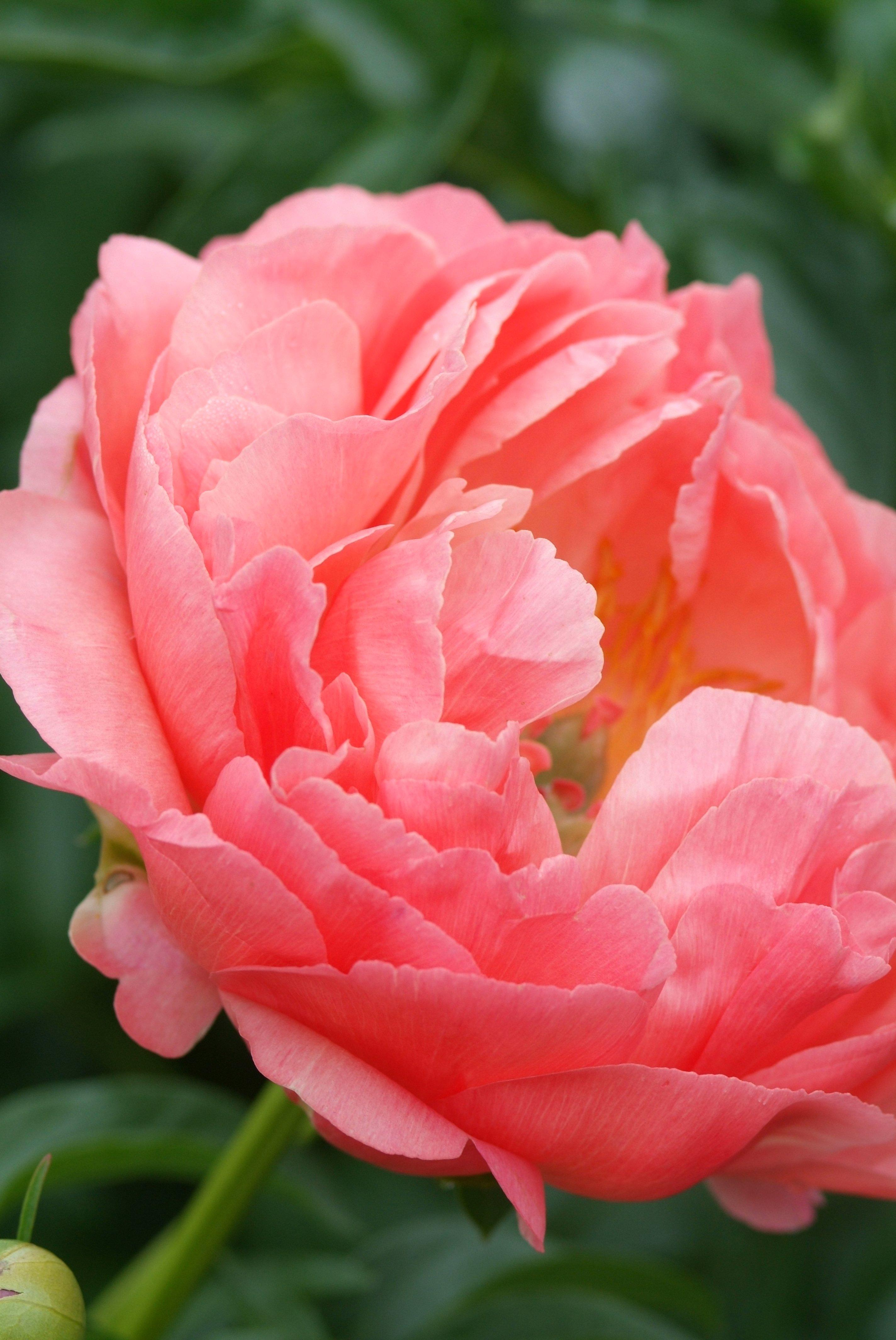 Paeonia 'Coral Sunset', mooie pioenen, pioenroos, tuinen.nl