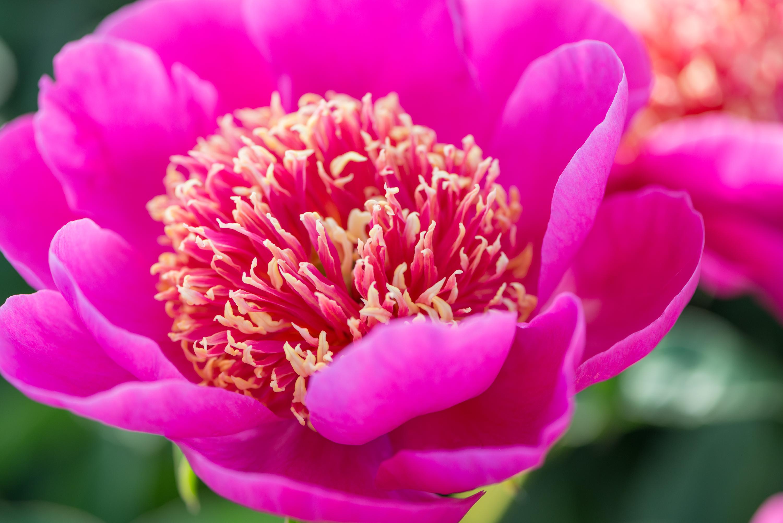 Paeonia 'Leslie Peck', mooie pioenen, pioenroos, tuinen.nl