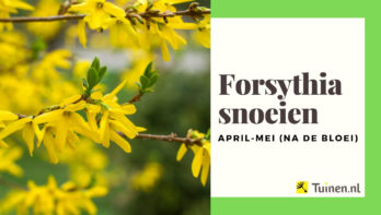 Video forsythia snoeien na de bloei (april - mei)