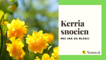 Video kerria snoeien na de bloei (mei)