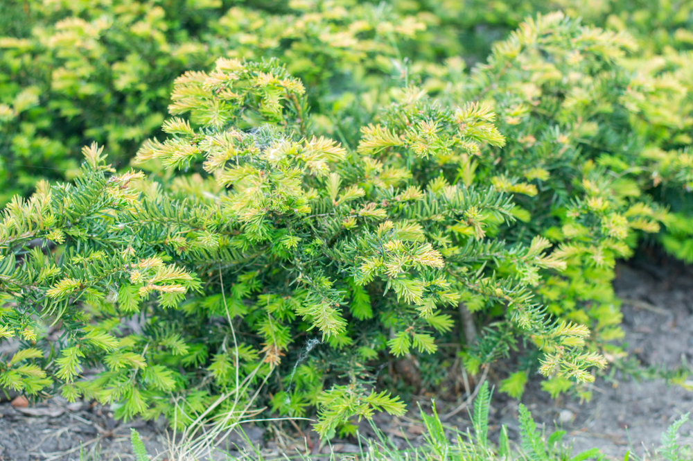 Taxus baccata 'Repandens', buxusmot, tuinen.nl