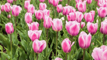 10 weetjes over tulpen