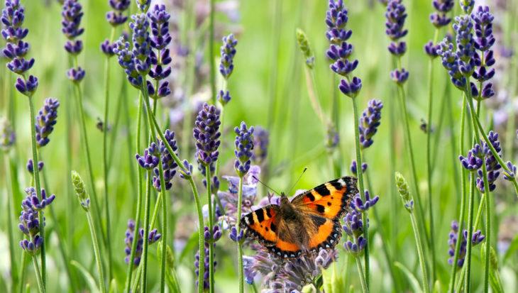 Vlinders lijden onder droogte
