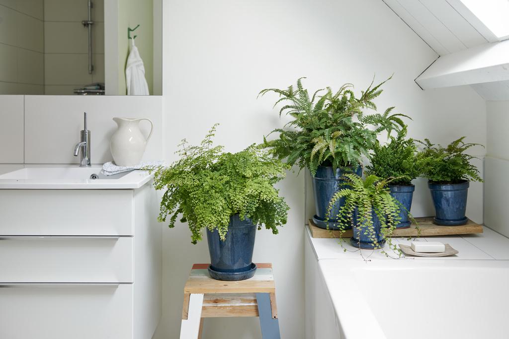 venushaar, adiantum, badkamer, badkamerplanten, tuinen.nl