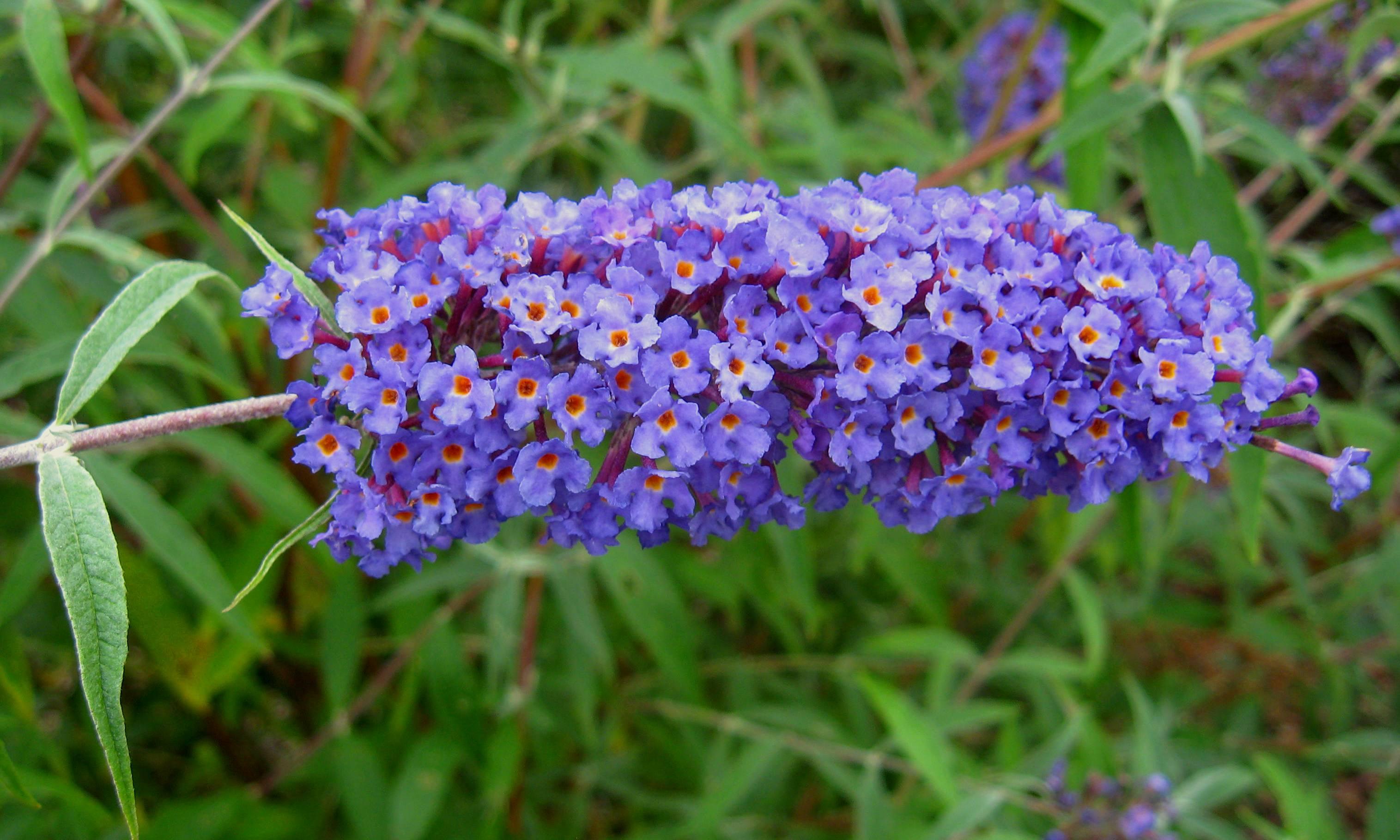 Buddleja davidii 'Nanho Blue', vlinderstruik, droogte, droge zomer, tuinen.nl