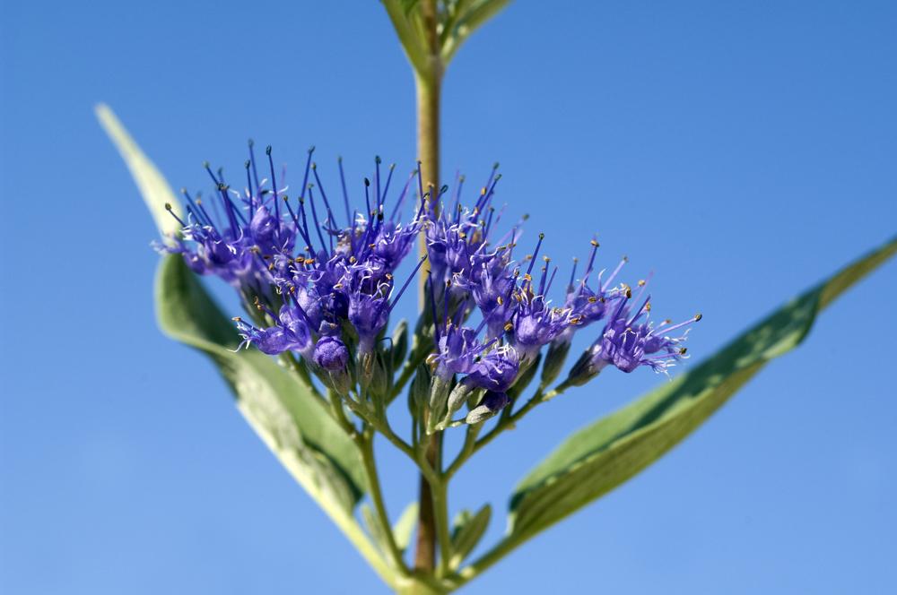 Caryopteris x clandonensis, spirea, droogte. droge zomer, tuinen.nl