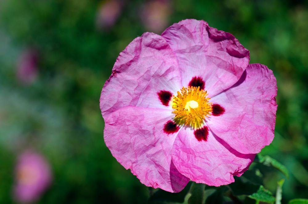 Cistus x purpureus 'Betty Taudevin', cistusroos, droogte, droze zomer, tuinen.nl