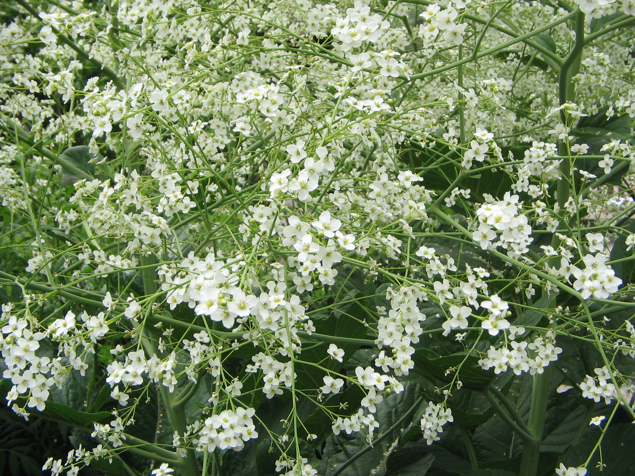 Crambe cordifolia, droogte, droge zomer, tuinen.nl