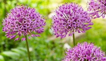 sieruien, Allium, tuinen.nl