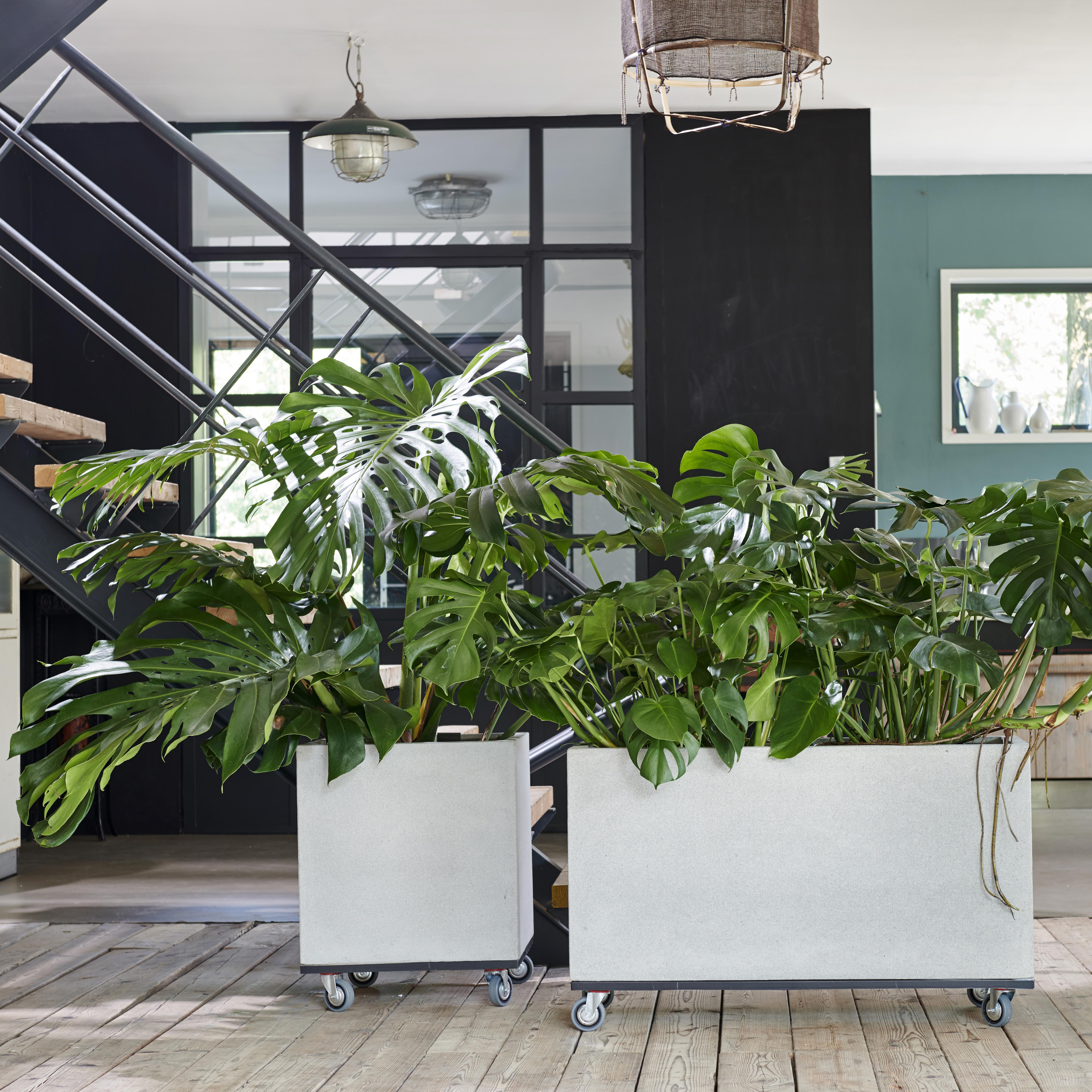 Monstera Deliciosa, monstera, kamerplant, gatenplant. tuinen.nl