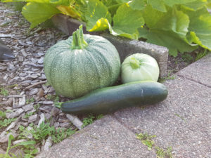 courgette moestuin