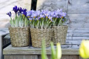 krokus, iris - bloembollen in potten