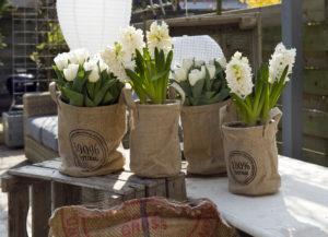 tulpen en hyacinten - bloembollen in potten