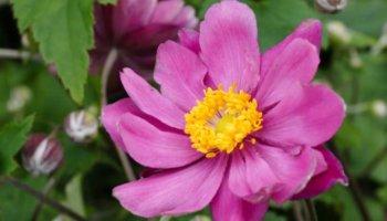 Japanse anemonen herfstanemonen