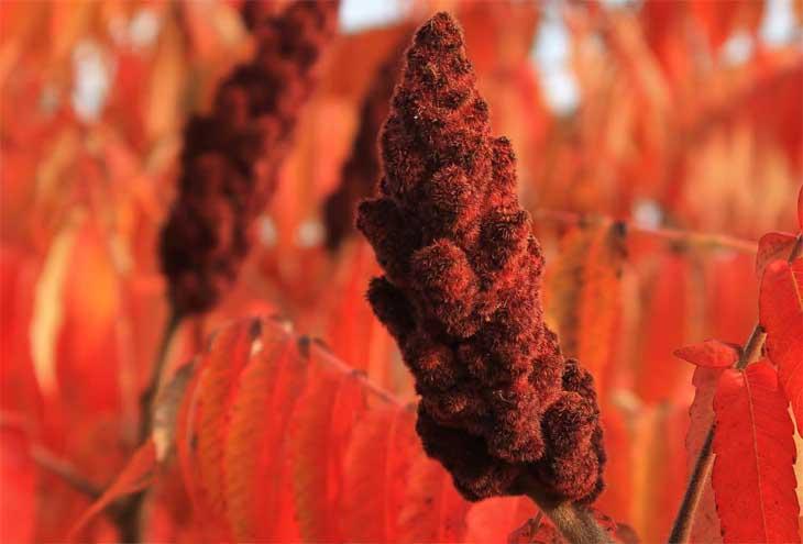 fluweelboom