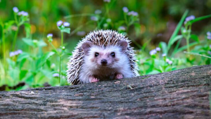 Jouw tuin een veilig thuis voor egels