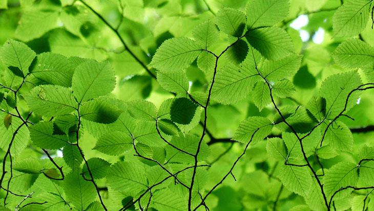 PlantsOnline-beukenhaag-1